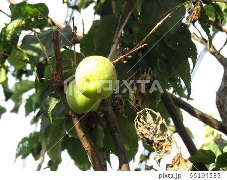 もう直ぐ収穫時期になる緑色の梅の実 66194535