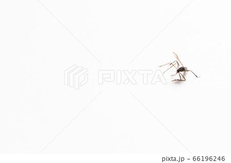 コピースペースのある白背景のシンプルな蚊の写真 66196246