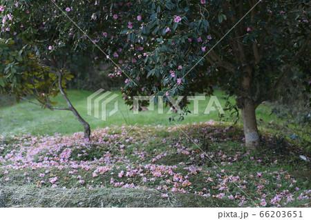 ピンクの花咲くツバキの木と散った花のじゅうたん 66203651
