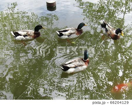千葉公園の 綿打池を泳ぐアイガモ  66204129
