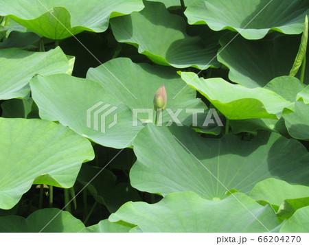 千葉公園の綿打池のオオガハスの蕾 66204270