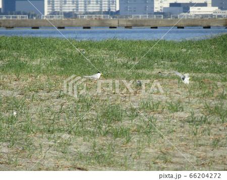 検見川浜の営巣地でのコアジサシ 66204272