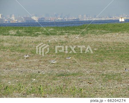 検見川浜の営巣地でのコアジサシ 66204274