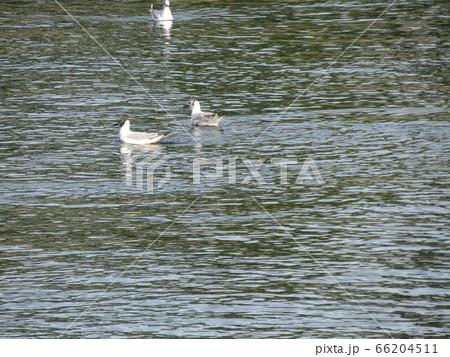 六月になっても花見川河口にユリカモメが居ます 66204511