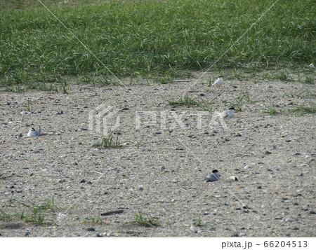 検見川浜の営巣地でのコアジサシ 66204513