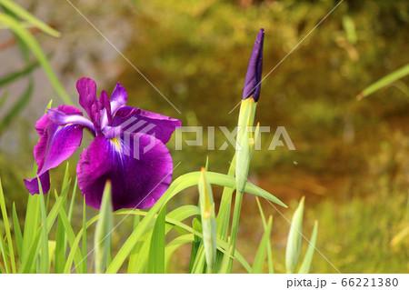 花開いた小豆色のハナショウブと蕾(4) 66221380