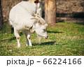 一頭の山羊 66224166