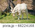一頭の山羊 66224168