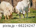 角をぶつけ合いながら遊ぶ二頭の山羊 66224247
