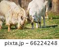 角をぶつけ合いながら遊ぶ二頭の山羊 66224248