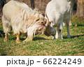 角をぶつけ合いながら遊ぶ二頭の山羊 66224249