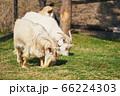 仲良く並んで…二頭の山羊 66224303