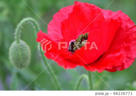 紅いポピーの花(緑背景) 花と蕾(紅いポピー) 66226771