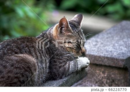 座って横を向いてい寝落ちしそうな猫 66228770