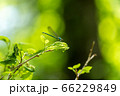 五色沼自然探勝路の新緑風景 羽を休めるイトトンボ 福島県北塩原村 66229849