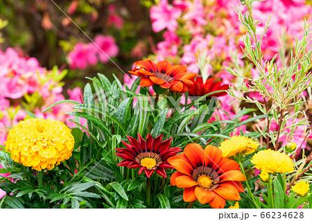 ガザニアとマリーゴールド咲く夏の花壇 66234628