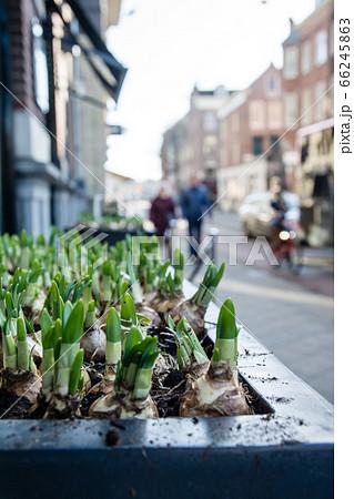道路脇に植えられた球根から出る芽 オランダアムステルダムの街並み 66245863