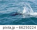 羅臼沖で見たイシイルカ(北海道・知床) 66250224