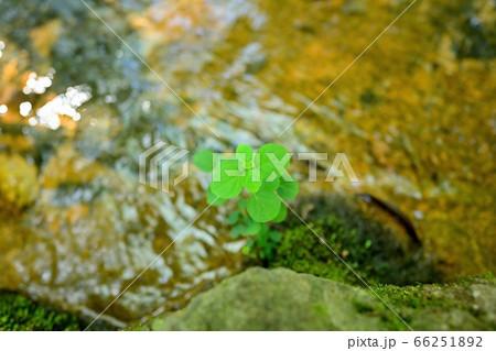 水辺で元気に育っている新芽の情景 66251892
