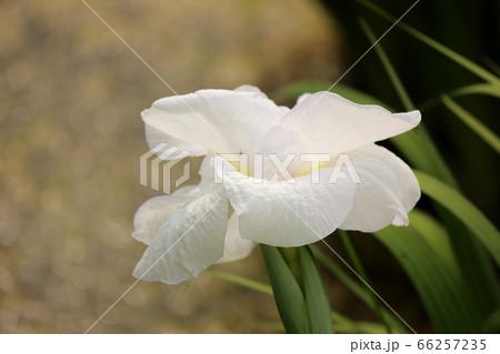 北山公園の見頃を迎えた白いハナショウブ(3) 66257235