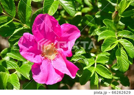 初夏の北海道江差町で満開のはまなすの花を撮影 66262629