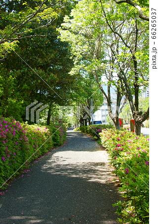 ナンジャモンジャとツツジが咲く小道 66265037