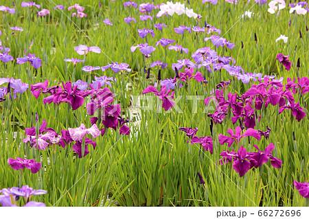 東村山市にある彩りが豊かな北山公園のハナショウブ(3) 66272696