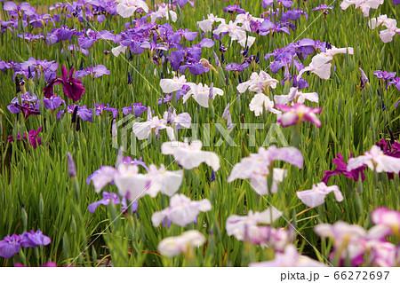 東村山市にある彩りが豊かな北山公園のハナショウブ(4) 66272697