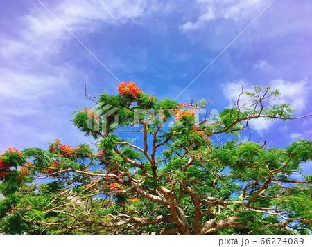【トロピカル】赤い鳳凰木の花と青空 66274089