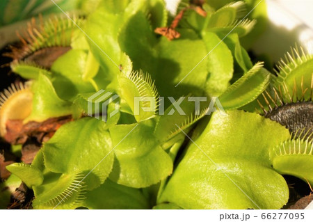 ハエトリグサ ハエトリソウ ハエジゴク 食虫植物 碓井川熱帯植物園 66277095