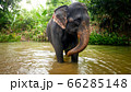 Adult indian elephant standing in small river at tropical rainforest in Thailand 66285148