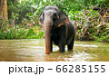 Adult indian elephant crossing small river in tropical jungle forest on Sri Lanka 66285155