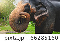 Portrait of indian elephant holding tree branch with trunk and eating it in national park on Sri Lanka 66285160