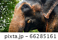 Closeup photo of adult indian elephant eating tree branches and leaves in wildlife at jungle forest 66285161