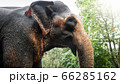 Portrait of adult indian elephant standing in tropical rainforest jungle on Sri Lanka 66285162