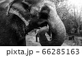 Black and white portrait of indian elephant eating sweet sugar cane in national park 66285163