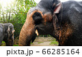 Closeup image of indian elephant eating sweet palm branch in national park on Sri Lanka 66285164