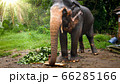 Image of adult elephant tearing and eating leaves off the tree branch 66285166