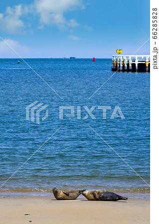 オステンド港近くの砂浜で寝そべる二頭の野生のアザラシ 66285828