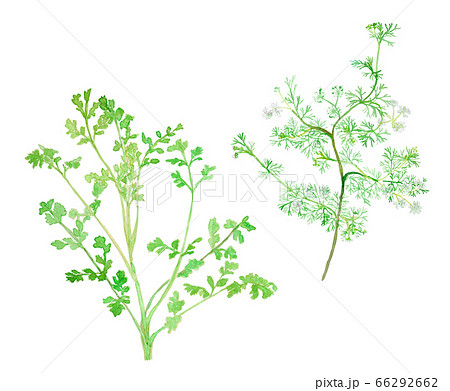 Coriandrum sativum コリアンダー/パクチー/香菜 幼葉と成葉と花 66292662