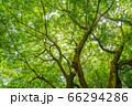 東京都八王子市の自然環境 栃谷戸公園 エノキ 66294286