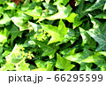 観葉植物_アイビー_ヘデラ 66295599