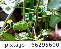 朝露の青いミニトマト 66295600