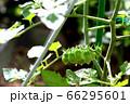 朝露のミニトマト 66295601