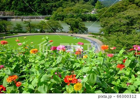 津久井湖城山公園の百日草と芝生広場と湖 66300312