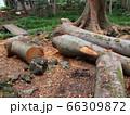 伐採された大木 66309872