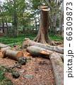 伐採された大木 66309873