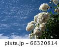 初夏のバラとさわやかな青空のコピースペース 66320814