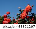 初夏のバラ、ローラとさわやかな青空のコピースペース 66321297