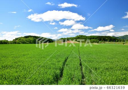 初夏の北海道厚沢部町で小麦畑の青々とした風景を撮影 66321639